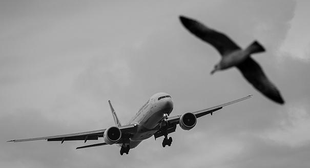 Птица vs самолет. Как ужиться вместе в небе